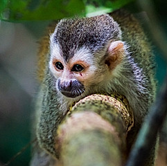 Singe-écureuil à dos rouge, Costa Rica