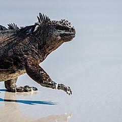 Iguane, Tortuga Bay, Galapagos