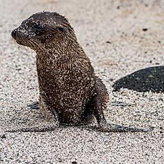 Lion de mer, La Loberia, Galapagos