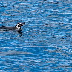Manchot de Humboldt, Pingüineras Puñihuil, Chiloé