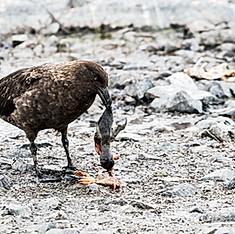 Skua antarctique ou Labbe de McCormick (mangeant un jeune manchot papou)