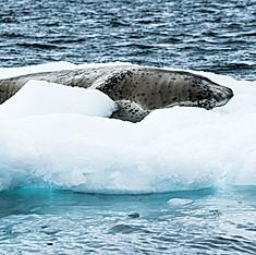 Léopard de mer ou Phoque-léopard