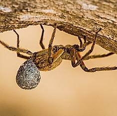 Araignée-Loup ou Lycose, Costa Rica