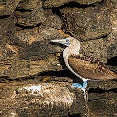 Fou à pieds bleus, Galapagos