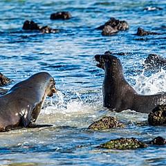 Lions de mer, La Loberia, Galapagos