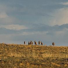 Gazelles de Mongolie