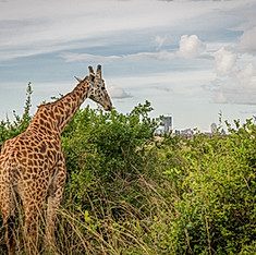 Girafe, Parc national de Nairobi