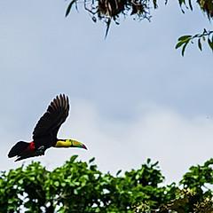 Toucan à carène, Costa Rica