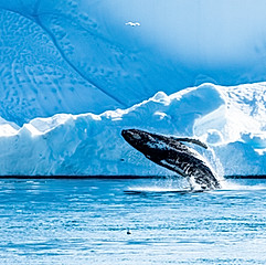 Baleine à bosse, baie de Disko, Groenland