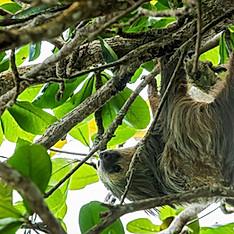 Paresseux à deux doigts ou unau, Costa Rica