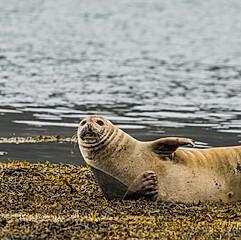Phoques veau-marin