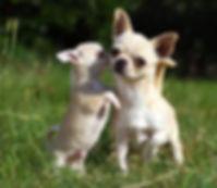 kort haar chihuahua puppy