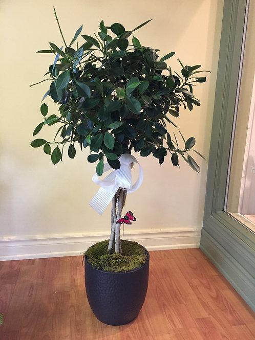 Ficus sur tige