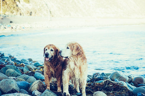Old goldens on lake.jpg