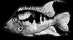 Thorichthys meekii