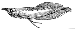 Osteoglossum bicirrhosum