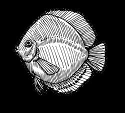 Symphysodon