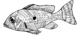 Acarichthys heckelii