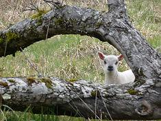 agneau bleu du Maine