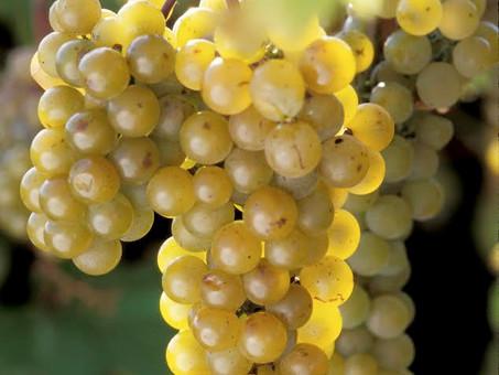 Know Your Grapes: La Crescent