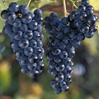 Know Your Grapes: Marquette