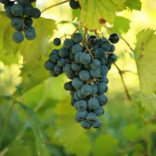 Know Your Grapes #1: Chambourcin