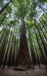 Redwood Forest - Nouvelle Zelande