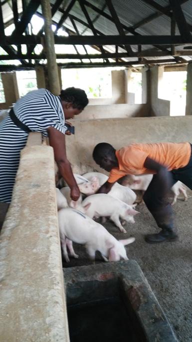 Piggery Farm 3