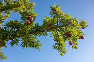 Argan tree.jfif