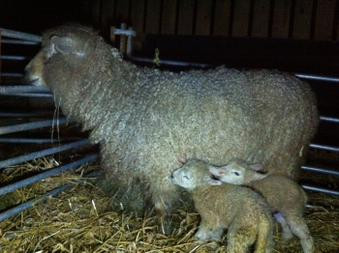 No4 Leads the Lambing Race.jpg