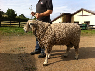 New Ram for Loddington Longwools