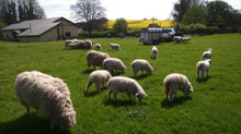 Grass is Growing....visit the Longwools