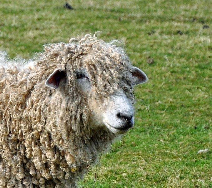 close up sheep.jpg