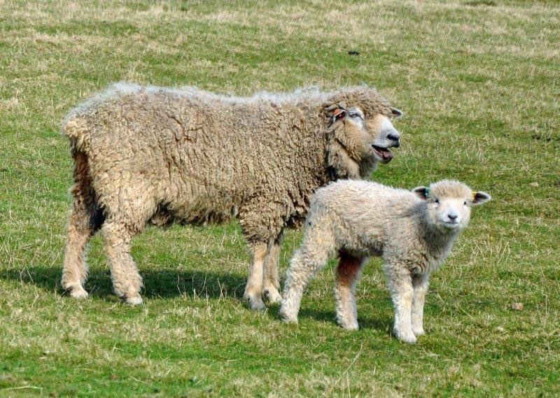 Leicester longwool ewe and lamb_edited-1.jpg