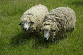 Longwool Tups For Sale