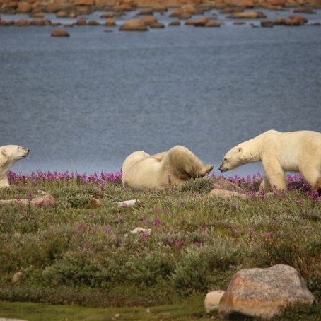 Polar Bears in the Summer