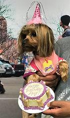 This Yorkie celebrating her birthday.