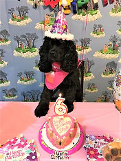 This Cocker Spaniel and her birthday cake.