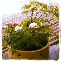 No vaso da mamis.jpg.jpg.jpg.jpg Agora cresce tudo.jpg.jpg.jpg.jpg Árvore da felicidade e rosas bran