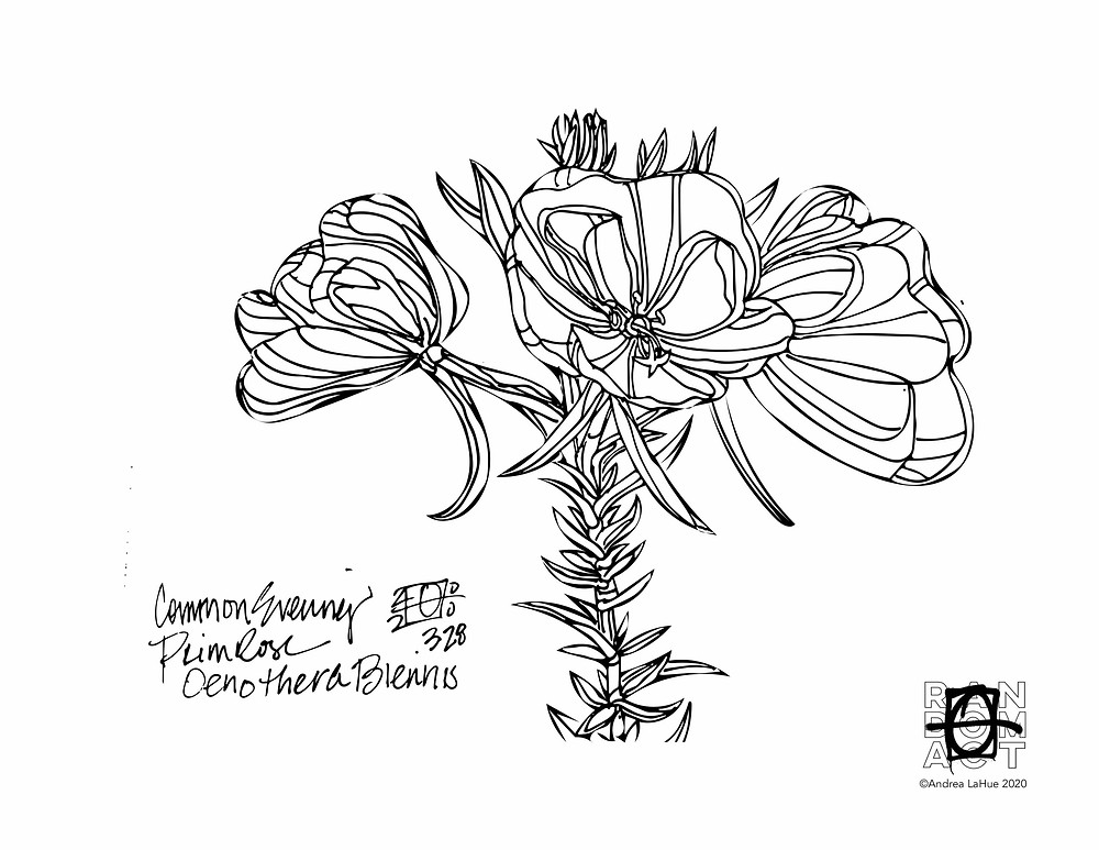 Evening Primrose 033120 coloring pages by Andrea LaHue