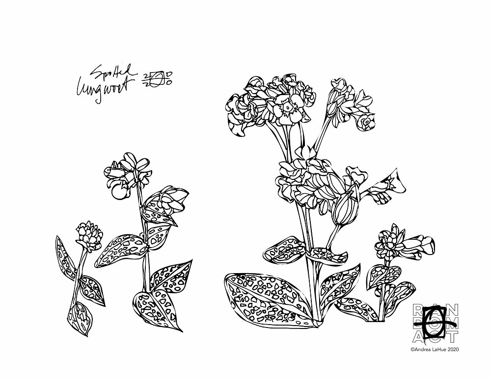 lungwort coloring page by Andrea LaHue