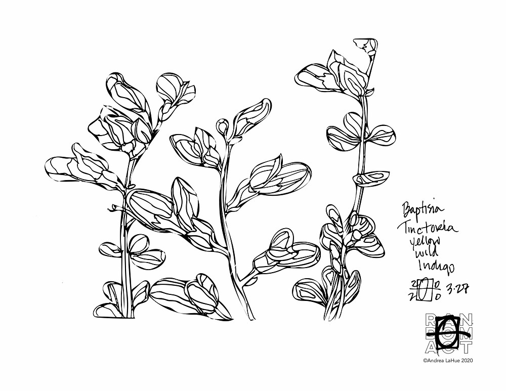 Wild Indigo Coloring pages Andrea LaHue