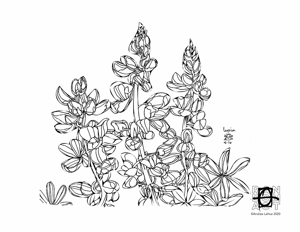 lupine coloring page by Andrea LaHue