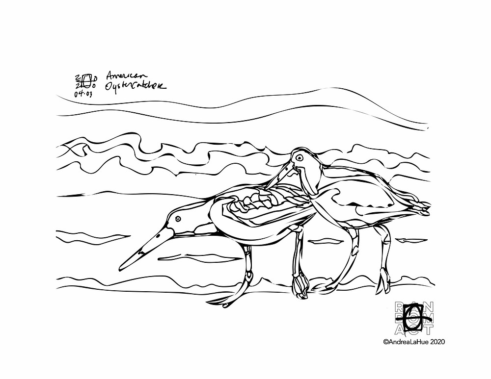 oyster catcher coloring page by Andrea LaHue