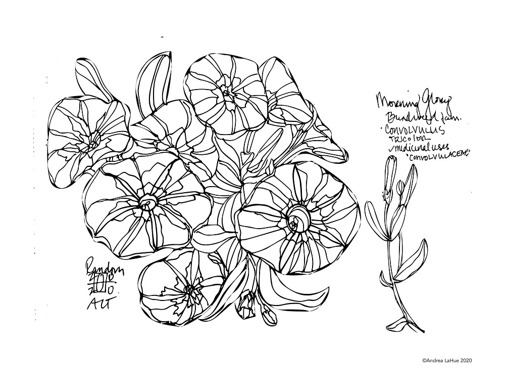 Morning Glory Coloring Page by Andrea LaHue