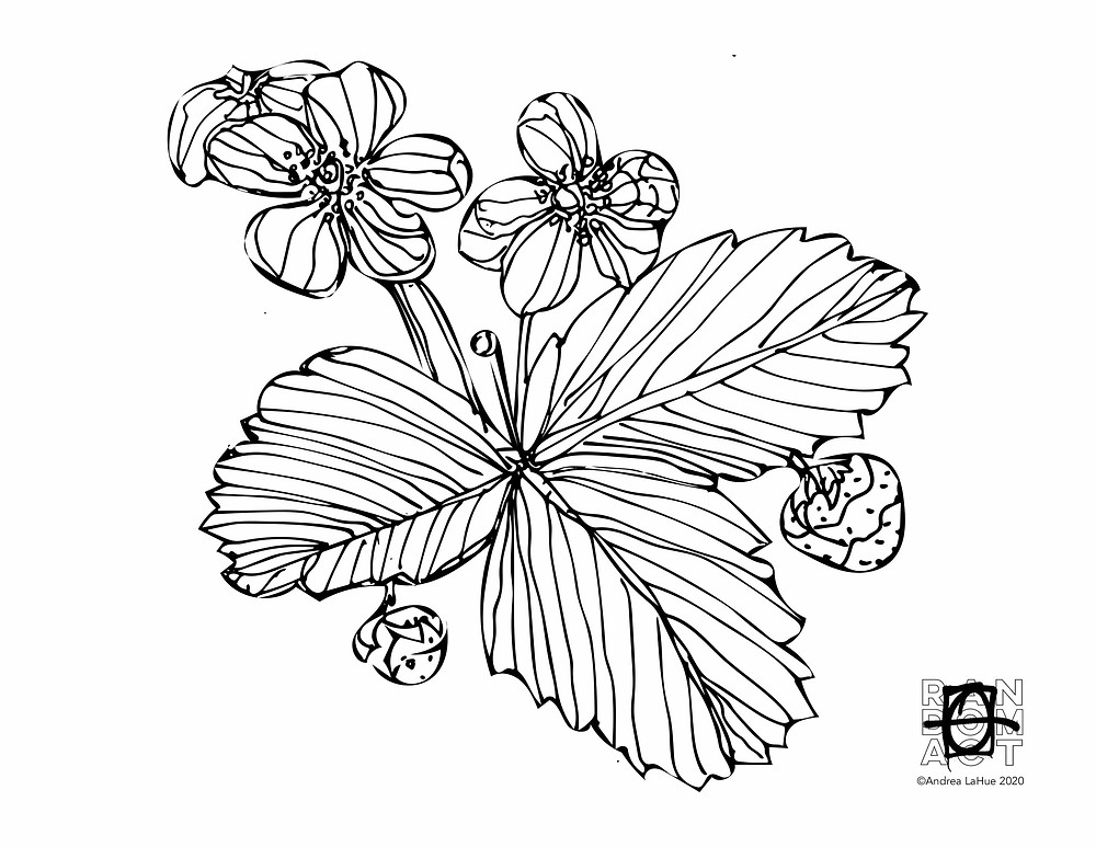 Virginia Strawberry Coloring page by Andrea LaHue