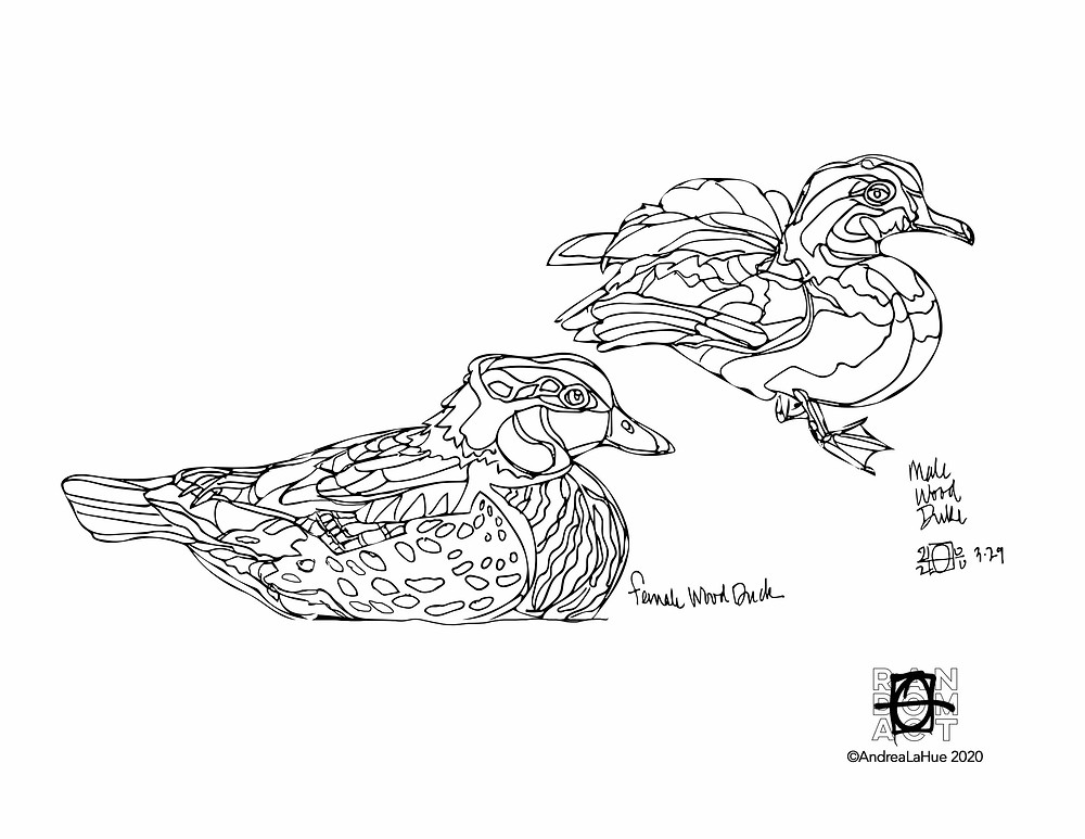 Wood Duck Coloring Pages by Andrea LaHue