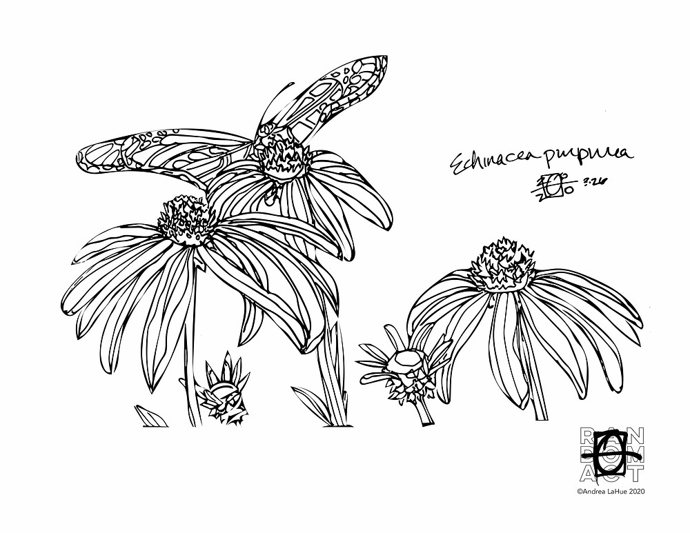 Echinacea Purpurea coloring pages by Andrea LaHue