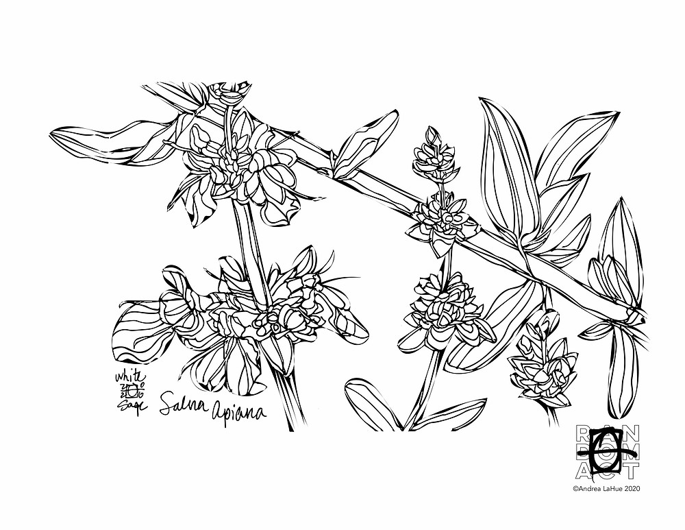 white sage coloring page by Andrea LaHue