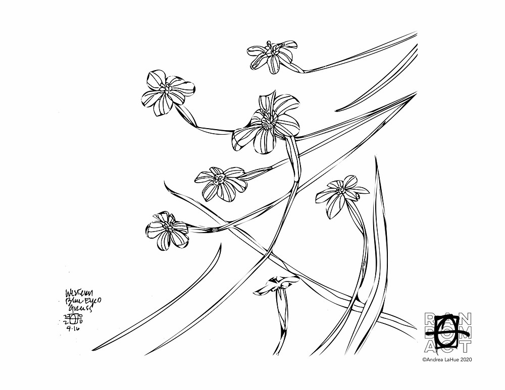 Blue Eyed Grass Coloring Pages by Andrea LaHue